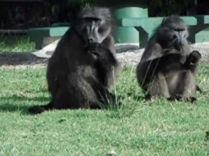 The pesky Baboons