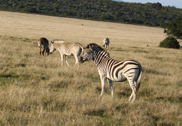 The Mountain Zebra has a thinner stripe pattern that does not extend to the leg