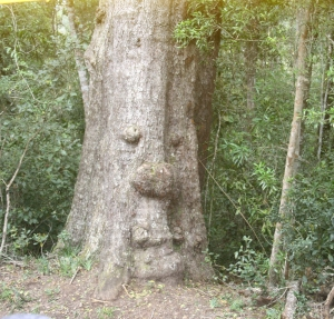 One of the oldest trees in the forest