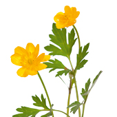 yellow buttercup (Ranunculus repens) on white background