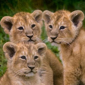 main-image-news-lion-01